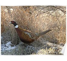 Ring-necked Pheasant on a Mission Poster