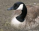 Canadian Goose Profile by Barberelli