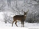 Male White-tailed Deer in Winter by Barberelli