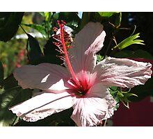 Hibiscus (5793) Photographic Print