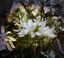 ~ Star Magnolia ~ by Brenda Boisvert