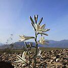 Desert Lily in Bloom by Rosalee Lustig