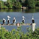 Pelicans On The Manning by Carol Field