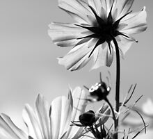 Cosmos and Sunshine in Black and White by coffeebean