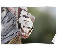 Tongue Out - Robust Velvet Gecko #3 Poster