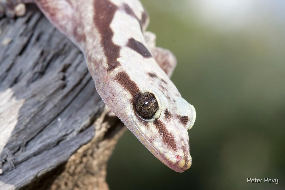 Profile - Robust Velvet Gecko #4 by Peter Pevy
