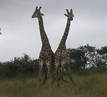 Giraffes in South Africa by Puddlejumper9