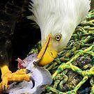 Something Found ~ Bald Eagle  by lanebrain photography