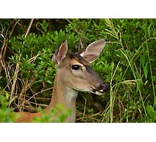 Headshot Of A Whitetail Deer Photographic Print