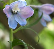 Delphinium Blue Beauty by coffeebean