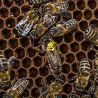 Queen bee by Mark Bangert