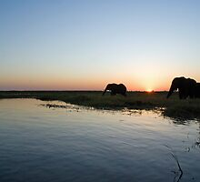 Elephants at sunset - Botswana by andiperkins