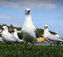 Gang of Gulls by AlMiller