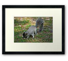 A Southern Fox Squirrel Framed Print