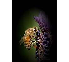 Lavendar and the Bee Photographic Print