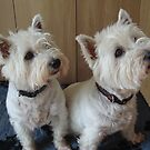 Missy &amp; Ellie, West Highland White Terriers by Sandra Cockayne