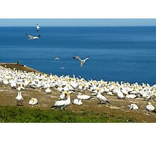 Northern Gannets Photographic Print