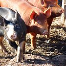 Three Little Pigs by Steven Squizzero