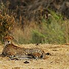 "Cheetah ""love story"" with her cubs by Marieseyes"