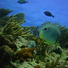 Butterfly Fish by Robtoca