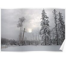 Snow fallen on conifers Poster