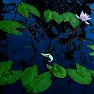 Lilly Pond by jojocraig