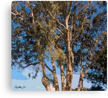 Mission Ranch Eucalyptus - Carmel, CA Canvas Print