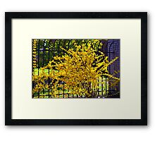 Wispy branches of Forsythia's climbing the fence...... Framed Print