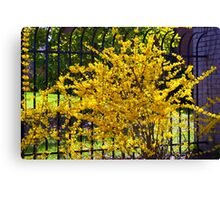 Wispy branches of Forsythia's climbing the fence...... Canvas Print