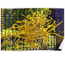 Wispy branches of Forsythia's climbing the fence...... Poster