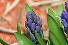 Hyacinth by Mike Oxley