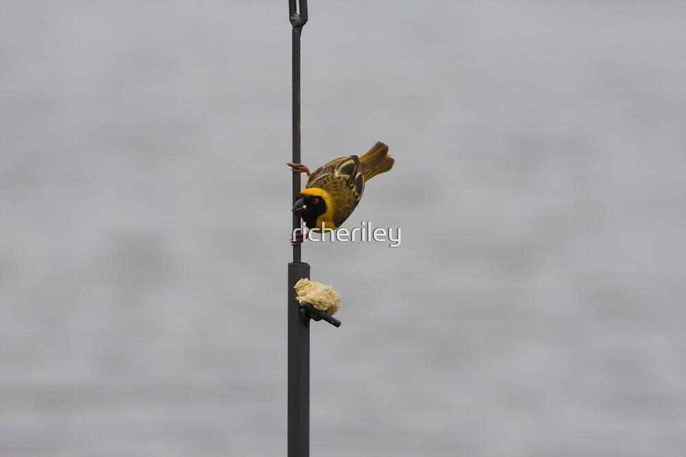 Southern Masked Weaver by richeriley