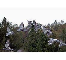 Rock Dove (Feral pigeons) Photographic Print