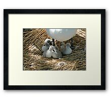 Baby swans In Mum's shade Framed Print