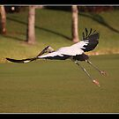 Wood stork in flight by Bigart32