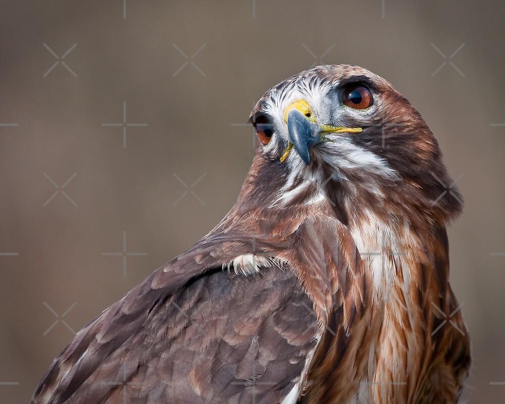 Red Tail Hawk by (Tallow) Dave  Van de Laar