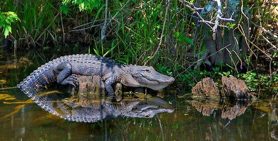 Happy Gator by njordphoto