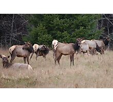 Elk With Tongue Out Photographic Print