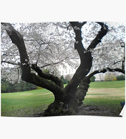 Capital with cherry tree Poster