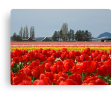 Across the field of Tulips     Canvas Print