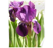The before image of Green Earth Iris Poster