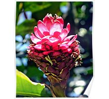 Pink Ginger Tropical Flower Plant Poster