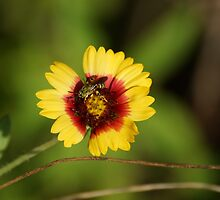 Bee on Red n Yellow flower by Scott Dovey