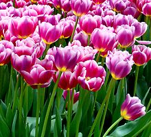 Pink tulips by Paige