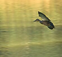 On Golden Pond by mspfoto