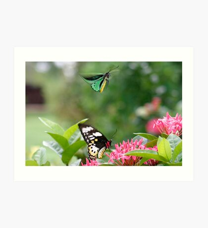 Birdwing butterly  (Ornithoptera priamus) Art Print