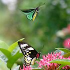 Birdwing butterly  (Ornithoptera priamus) by Normf