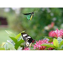 Birdwing butterly  (Ornithoptera priamus) Photographic Print