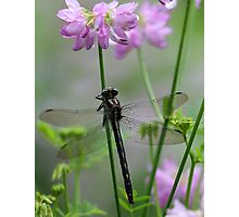 Black Dragonfly and Crown Vetch Photographic Print