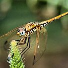 RED-VEINED DROPWING - Family Libellulidae dragon fly by Magriet Meintjes